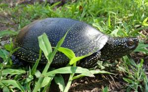 A mocsári teknős őshonos Magyarországon